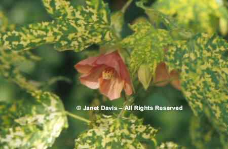 Beautifulbotanycom Botanical A B Stock Photography By Janet Davis