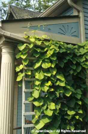 quelle plante grimpante pour l 39 ombre au jardin forum. Black Bedroom Furniture Sets. Home Design Ideas