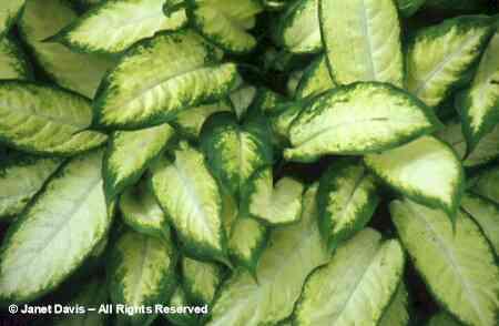Botanical d f stock photography by for Planta ornamental venenosa dieffenbachia