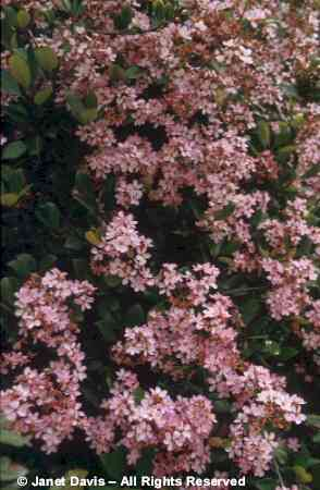 Beautifulbotany botanical r s stock photography by janet davis rhaphiolepis indica pink lady indian hawthorn shrubs in flower mightylinksfo