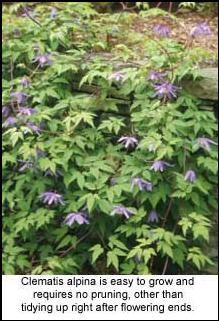 Spring blooming clematis are easy to grow there are some clematis that are so hardy and easy to grow you dont need to mightylinksfo